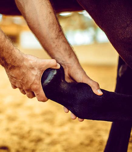 Sehnen, Muskeln und Gelenke lassen sich mit der Pferdephysiotherapie behandeln und sie unterstützt den Muskelaufbau beim Pferd.